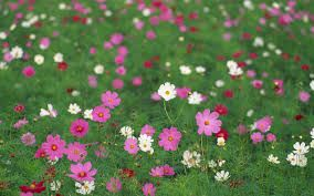 Image result for images of beautiful cosmos flowers