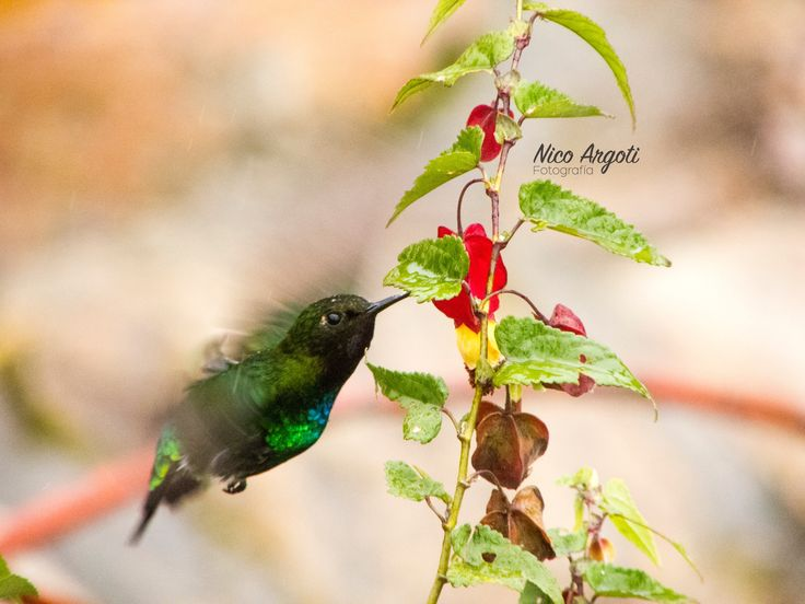 Colibrí  Julio - 2015 #Hummingbird #Colibrí #Ave #Bird