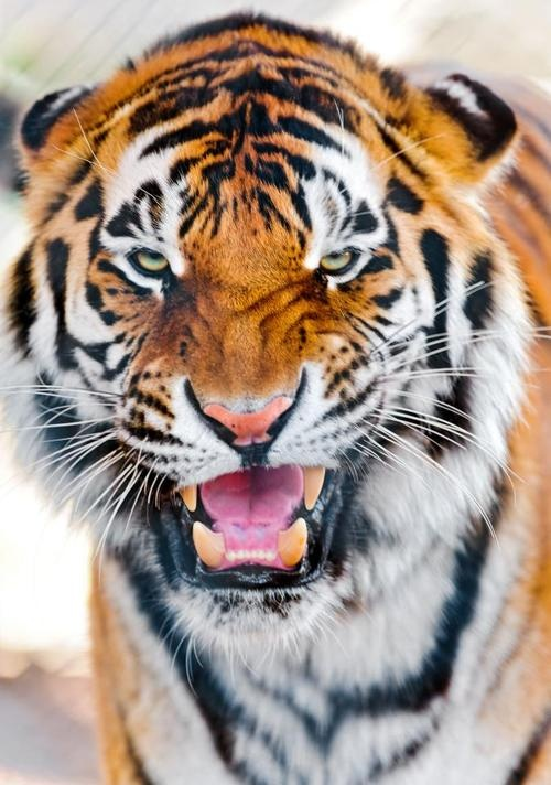 1000+ images about tiger on Pinterest | Tiger wallpaper ...
