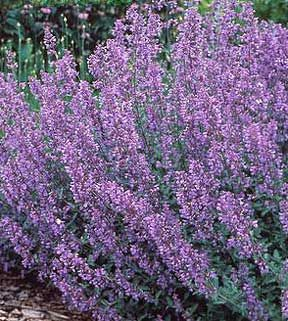 Catnip is said to be 10 times more effective than DEET in repelling mosquitoes. Citronella, or West Indian lemongrass, is a tall plant and the source for citronella oil. Cascading Geranium, another bug repelling plant, will cascade over its pot and add a delicate floral scent to your potagerie.
