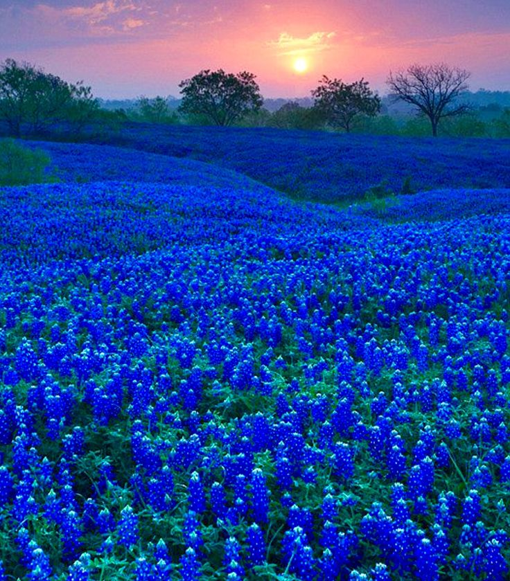 """Texas Bluebonnets.""  (USA)                (Pinned both to NAT-P&F-Flowers-*Flowers, N.O.C... & to Texas Wildflowers....)"