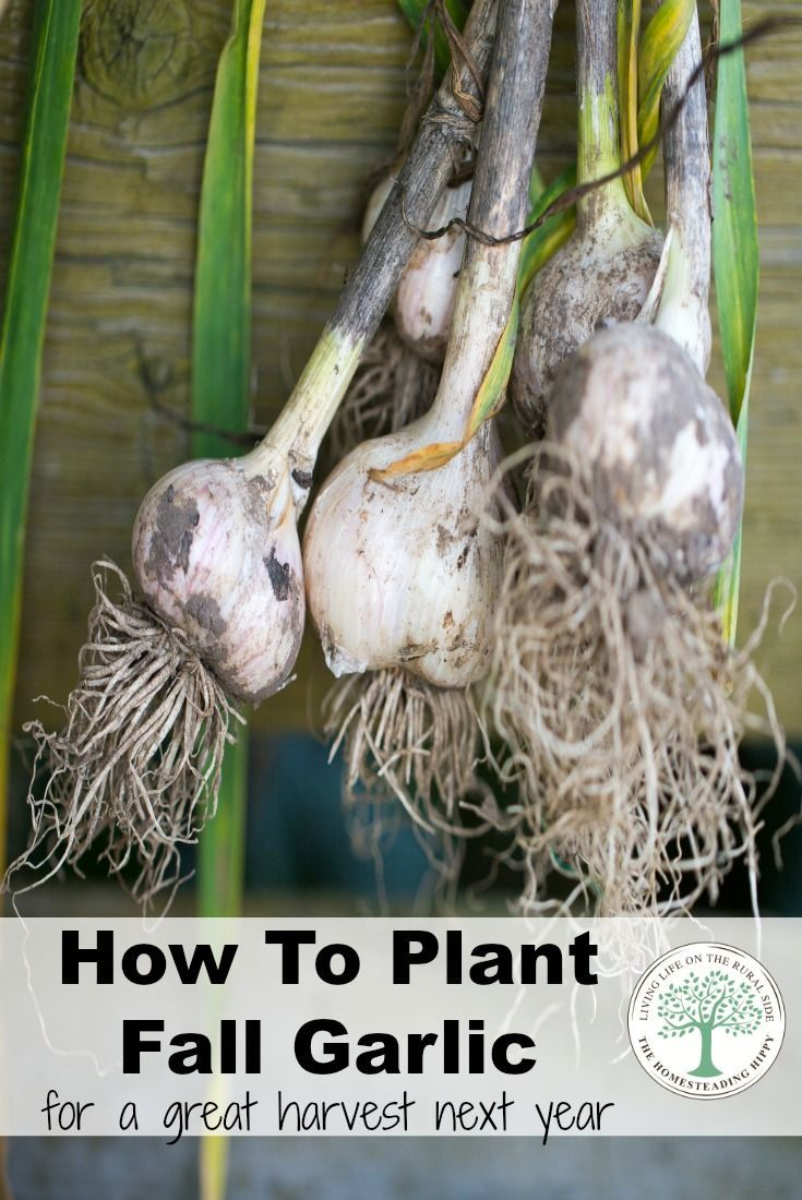 These Steps Will Help You Get The Best Garlic Harvest Ever 400 x 300