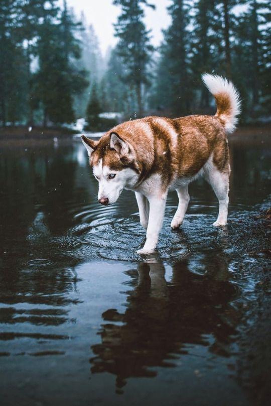 Lifestyle Husky Lobos Perros Perros Bonitos Perro