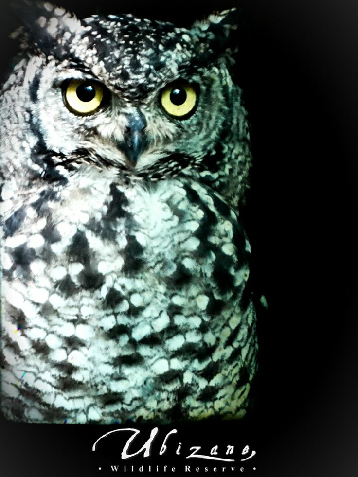 A photo I took the other night of one of our Spotted Eagle Owls.