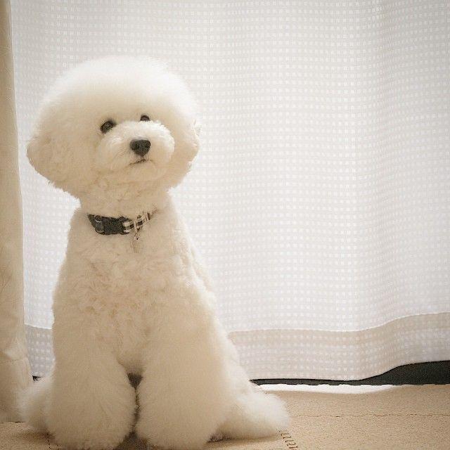 White Miniature Poodle Teddy Bear Cut Japan