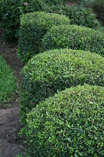 Shrubs For Shade Houston : Dwarf yaupon holly ilex vomitoria evergreen low growing