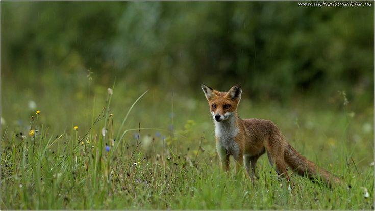 feszülten figyelő vörös róka