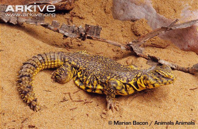 Saharan spiny-tailed lizard videos, photos and facts - Uromastyx ...