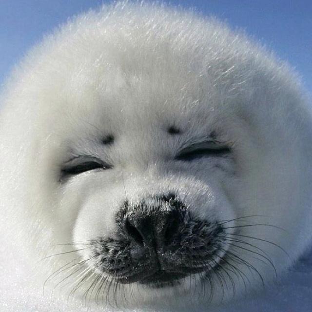 Harper Seal Pup