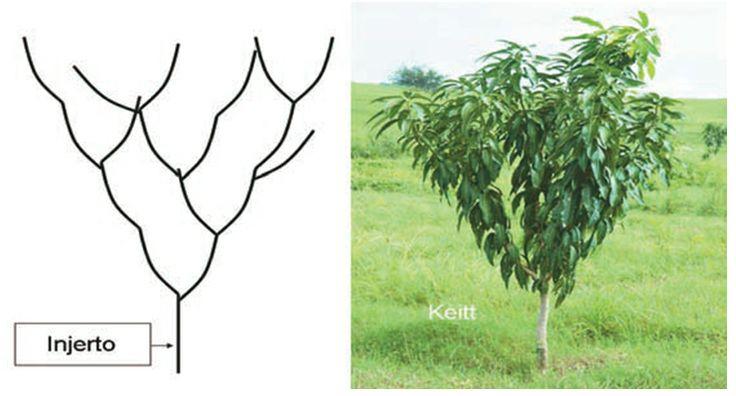 La poda de despunte en árboles jóvenes de mango