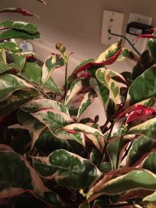 learn to care for beautiful variegated rubber tree plant ficus elastica at http - Identifying House Plants By Leaves