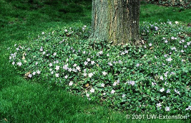 vinca minor  ground cover may bloom with periwinkle flower in, Natural flower