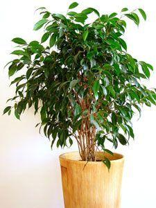 Fiche pratique sur l'entretien du ficus benjamina, plante verte d'appartement très répandue.