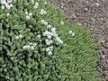 Hebe (genus) - Wikipedia, the free encyclopedia