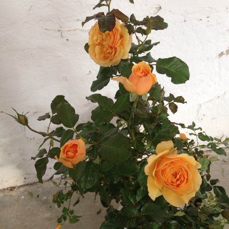 La rosa che mi ha fatto innamorare