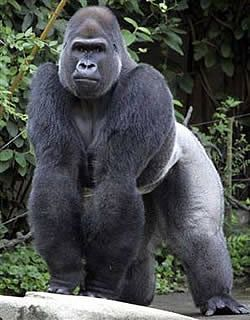 African Silverback Gorilla - Uh, not someone I'd like to run into at any time.