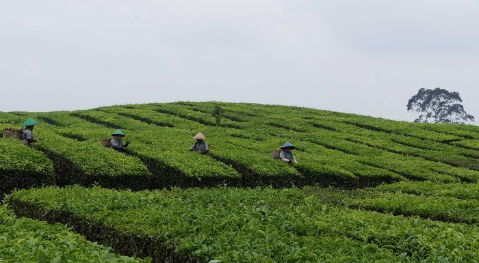 High time for tea: Tobasari tea farm produces one of the best teas in Indonesia. (Photo by Edna Tarigan)