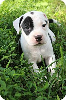 American Staffordshire Terrier/Pit Bull Terrier Mix in Charlotte NC
