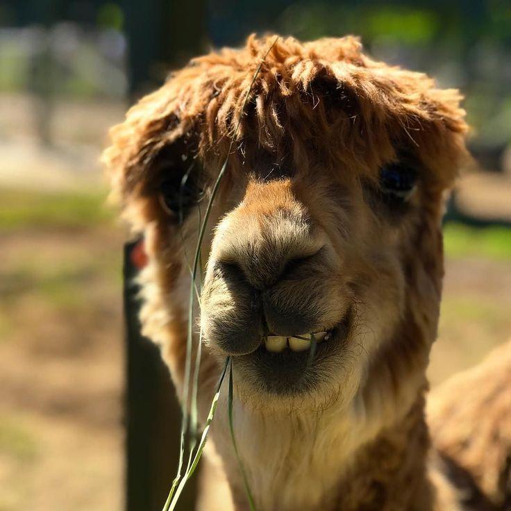 You should buy an alpaca.