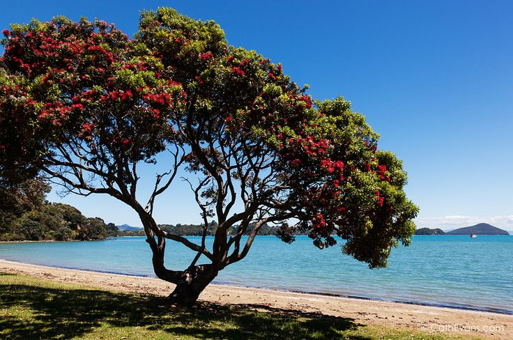 New Zealand Pohutukawa Tree