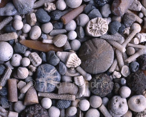 Fossilien der Rügener Kreide, Ostseeküste, Insel Rügen, Mecklenburg Vorpommern