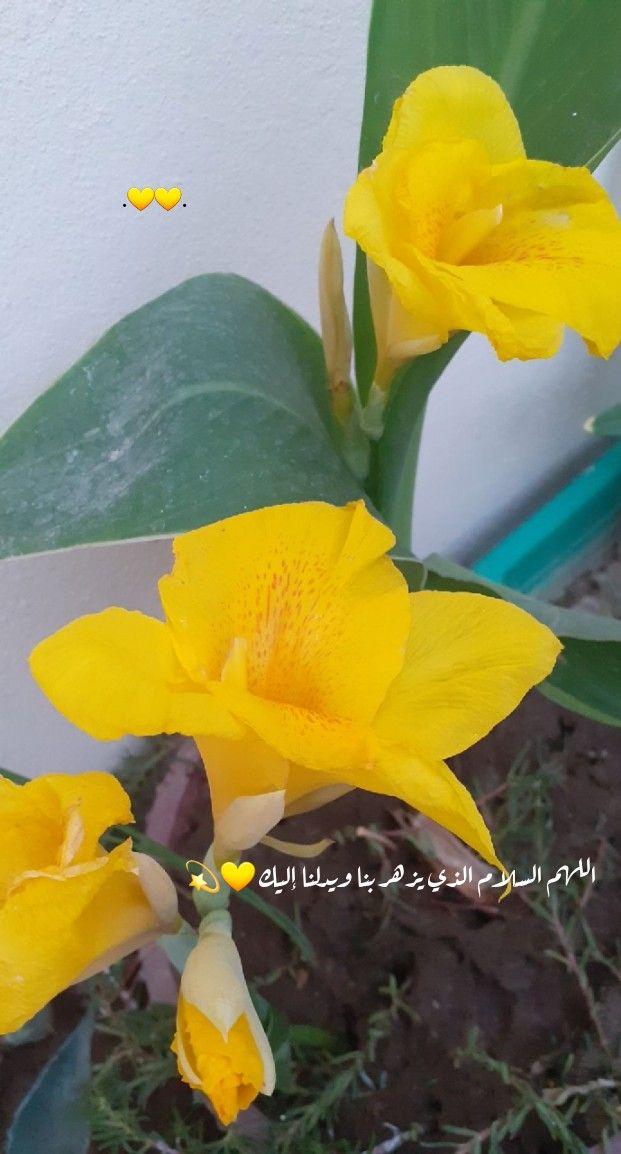 رمزيات تصويري سناب اصفر ورد Photo Plants