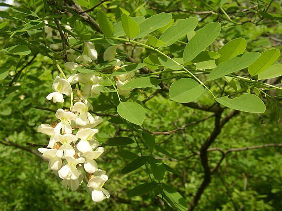 Trnovník akát (Robinia pseudoacacia) Čelď: Bobovité (Fabaceae)
