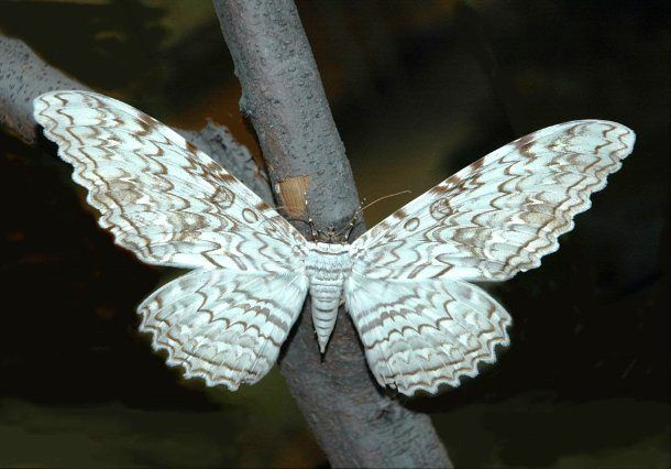 White Witch - Known by several other names including the birdwing moth and the ghost moth, the White Witch is a large moth that has some of biggest wingspans in the insect world at almost 30 cm (12 in). The species occurs in Mexico, Central and South America, and appears as a stray as far north as Texas, USA.
