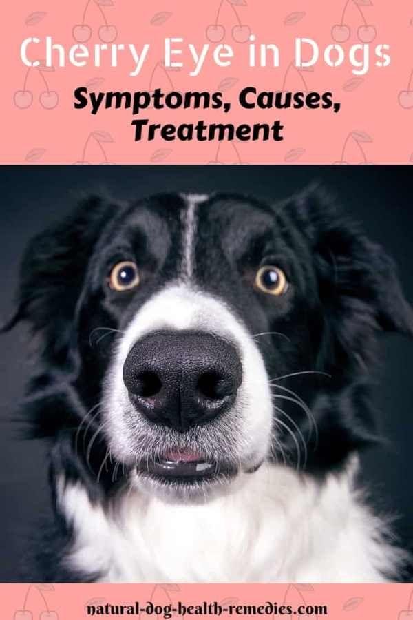 Cherry Eye In Dogs Cherry Eye In Dogs Dog Training Books Dog