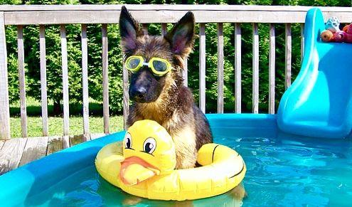 "German Shepherd Pool Party.... ""Hey, don't I look cool in"