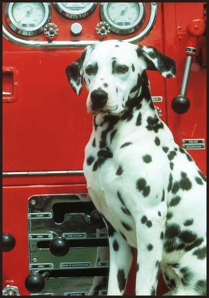 Dalmatian -- Coach Dog, Carriage Dog, Firehouse Dog.  Historically, Dalmatians ran with horse-drawn vehicles as stylish mascots who had a special rapport with horses.  The breed traditionally followed the horse-drawn fire engines to help keep the horses calm and protect the horses and equipment.