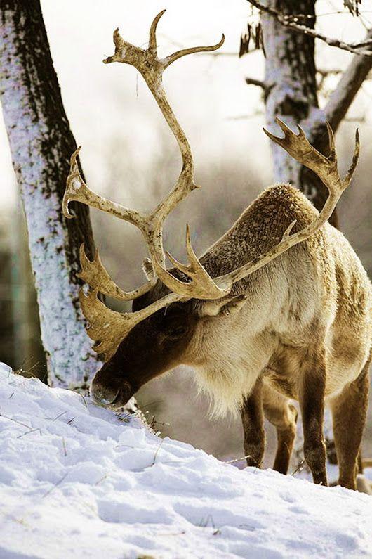El reno o caribú, es una especie de ciervo nativo del norte de Europa, Siberia y América del Norte. Los renos son únicos en el reino animal: solo ellos son capaces de ver la luz ultravioleta. Se trata de una de sus adaptaciones evolutivas ya que les permite soportar el frío. Pueden resistir temperaturas de hasta 50°C bajo cero porque su nariz está preparada para calentar el aire antes de que entre en los pulmones e incluso de condensar el agua del aire para mantener las membranas de sus muco