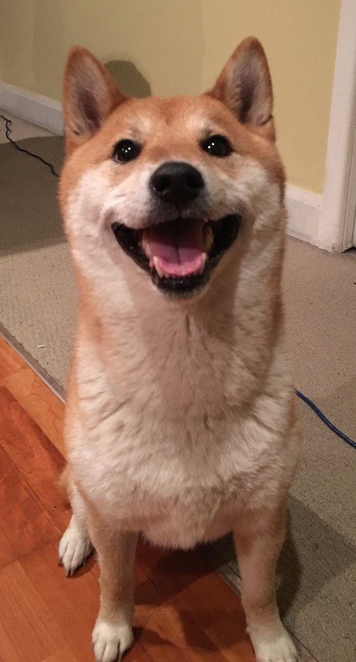 My Shiba Smiles So Much Shiba Inu Shiba Cute Little Animals