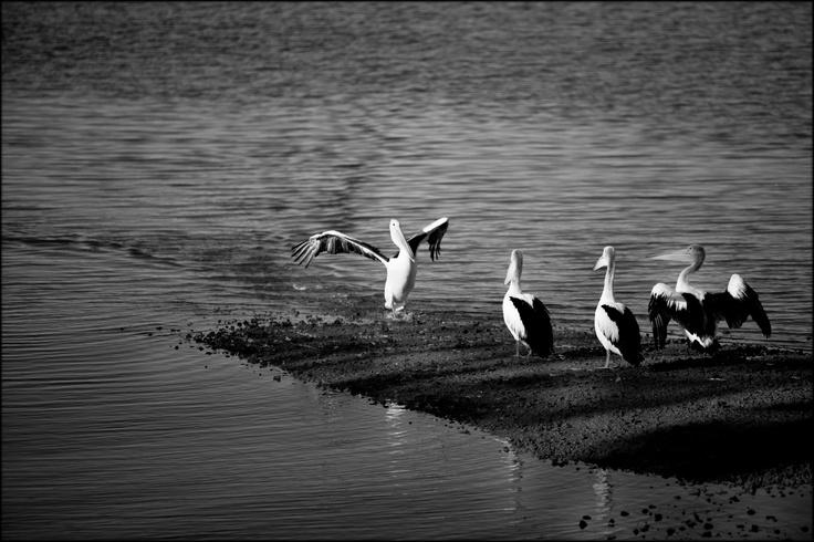 Pelicans at Redland Bay, Queensland, Australia.  © Paul Salmon.