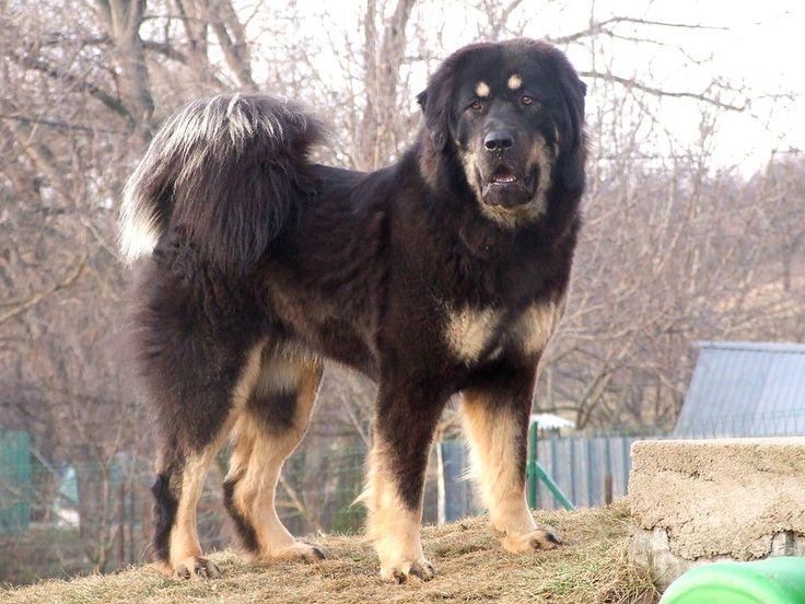 El Dogo del Tíbet (Do-Khy) —también conocido como Mastín Tibetano— es una raza canina originaria del Tíbet, que apareció hacia el año 8000 a. C.