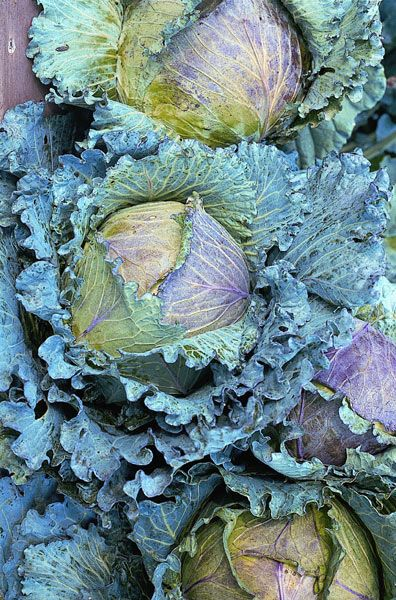 Cabbage 'January King': Delivery by Crocus.co.uk