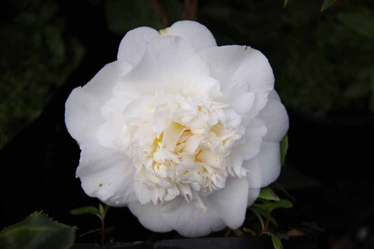 Camellia_Elegans_Champagne