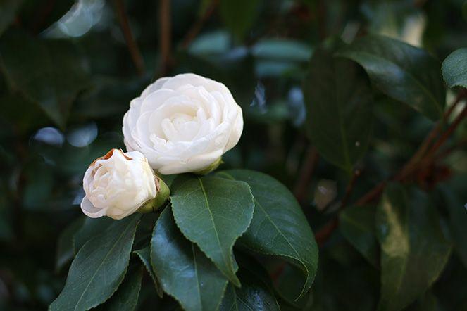 spring! camellia flowers!