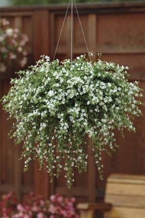 Bacopa 'Snowtopia'. £10.95 for 10 plug plants. Nice hanging basket plant