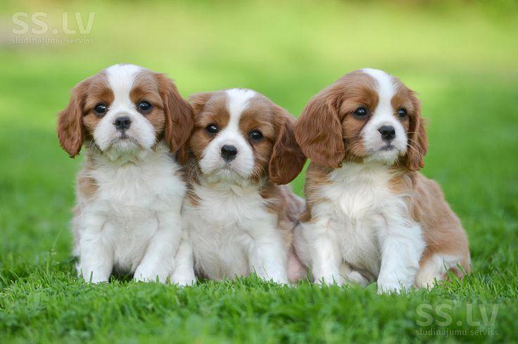 Собаки, щенки Кавалер-Кинг-Чарльз спаниель, цена 1 300 €, Фото