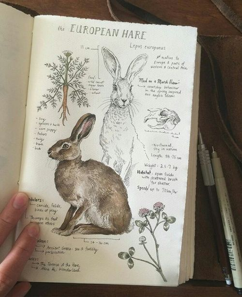 This is beyond fabulous. I absolutely love this natural history illustration of The European Hare. via