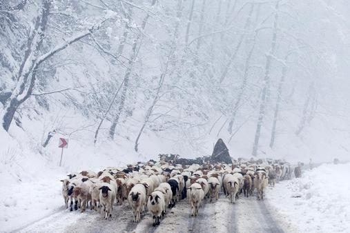 Een Iraanse herder brengt zijn kudde terug naar de graslanden in de streek Talesh, ten noordoosten van Teheran. Dorpbewoners verlaten hun houten huizen in de winter vanwege de hevige sneeuw. In de lente komen zij weer terug om toeristen een onderdak te bieden.
