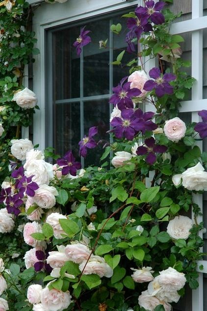 Shorter roses and clematises are ideal for framing windows. An advantage of growing these two plants together is that with correct pruning, the clematis will flower from the base to the top, its flowers masking the inevitable bare legs of the climbing rose.