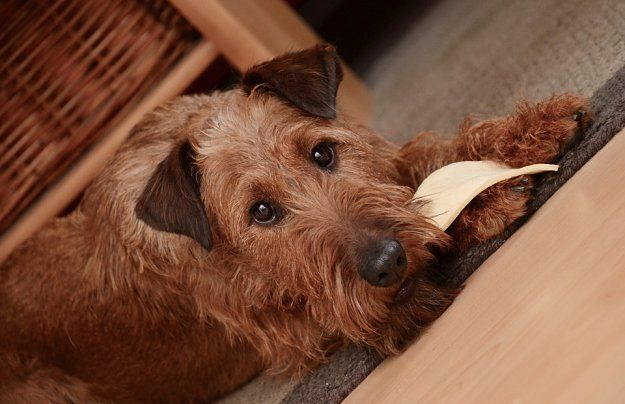 Irish Terrier Dogs and Puppies | Dog Breeds Journal