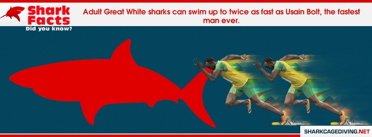 Adult great white shark can swim up to twice as fast as  Usian Bolt, the fastest man ever. Great White Shark Tours Fact