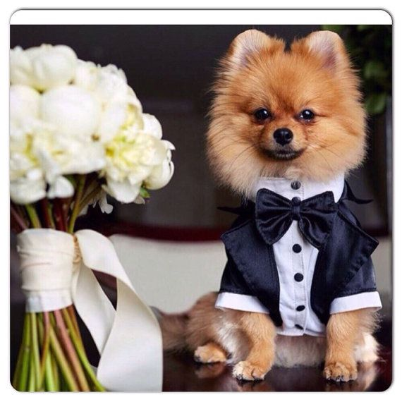 Boda smoking para smoking de Formal perro perros por AnnaHappydog