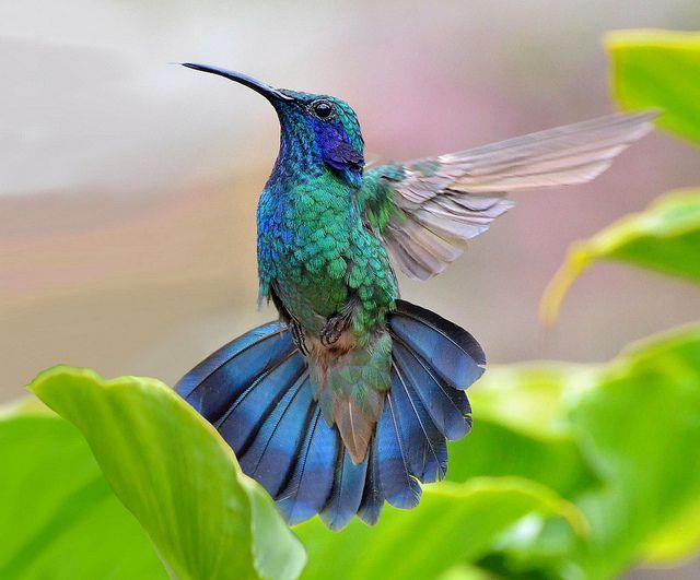 Green Violet-Ear Hummingbird, Flickr - Photo Sharing!