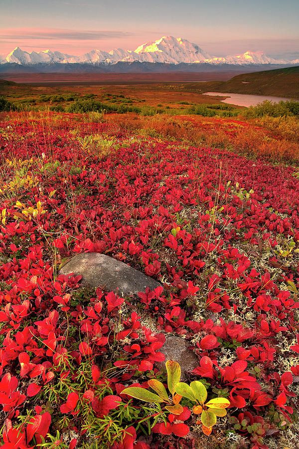 ✮ View from Primrose Ridge, Denali National Park, Alaska: Bucket List, Spaces, Fall Colors, Denali National, Alaska Home State, National Parks, Visit, Alaska Usa, Flowers