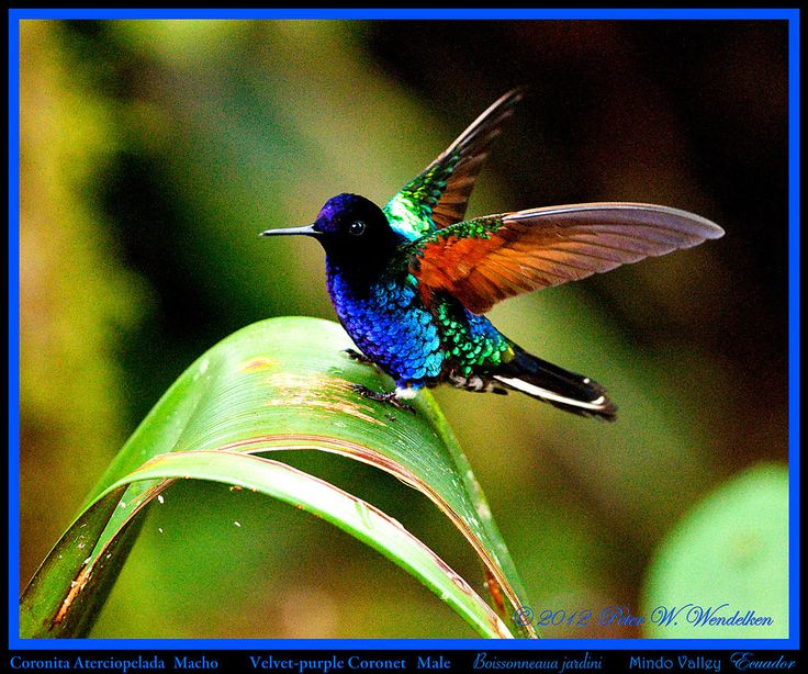 https://flic.kr/p/taSCM1 | VELVET-PURPLE CORONET MALE (hummingbird) Boissonneaua jardini with Wings Raised on Landing above Mindo in Northwestern ECUADOR. Hummingbird Photo by Peter Wendelken. | <b>VELVET-PURPLE CORONET</b> (hummingbird) <b>Male</b> <i>Boissonneaua jardini</i>. This male <b>Velvet-purple Coronet</b> is perching with its wings raised on the curve of a leaf on a mountain crest above Mindo, Ecuador on July 2, 2012. The breathtaking <b>Velvet-purple Coronet</b> is found in the…