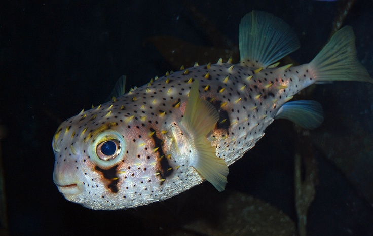 1000 images about fish puffer on pinterest for Puffer fish habitat